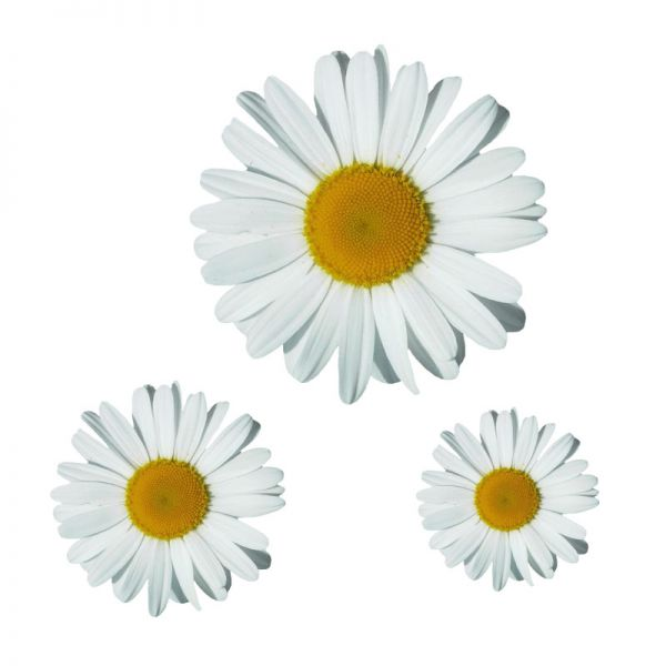 Margerite Blumenaufkleber Autoaufkleber Digitaldruck Aufkleber